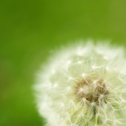Close-up of white dandelion